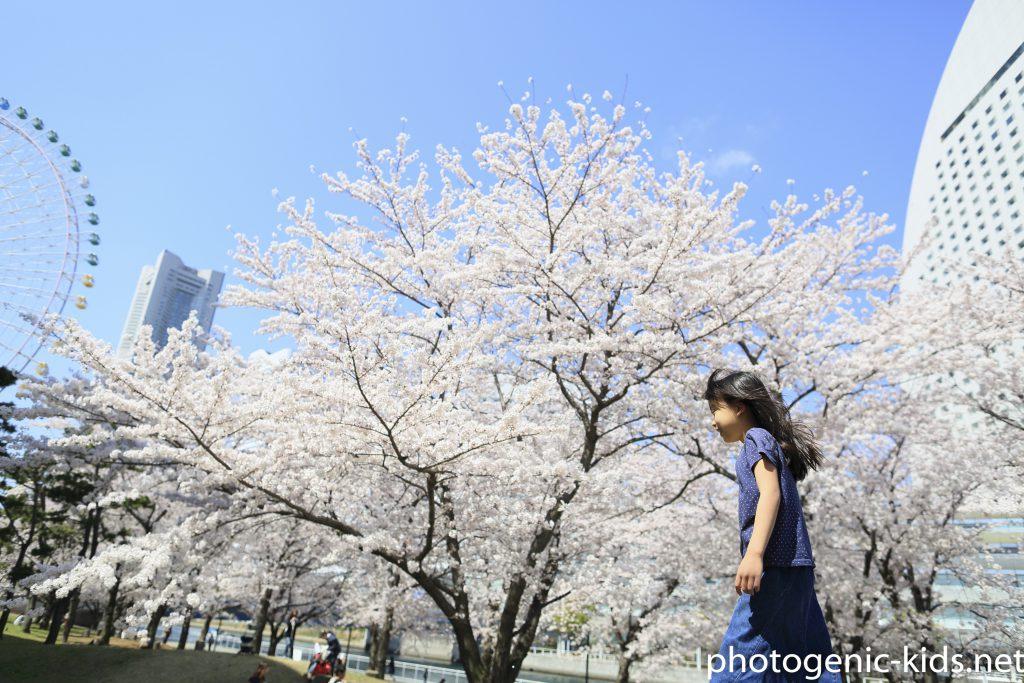 【桜と家族写真】みなとみらい観光地のソメイヨシノ